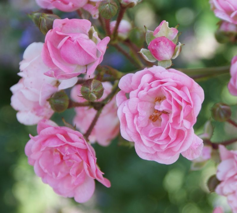 Coleman roses