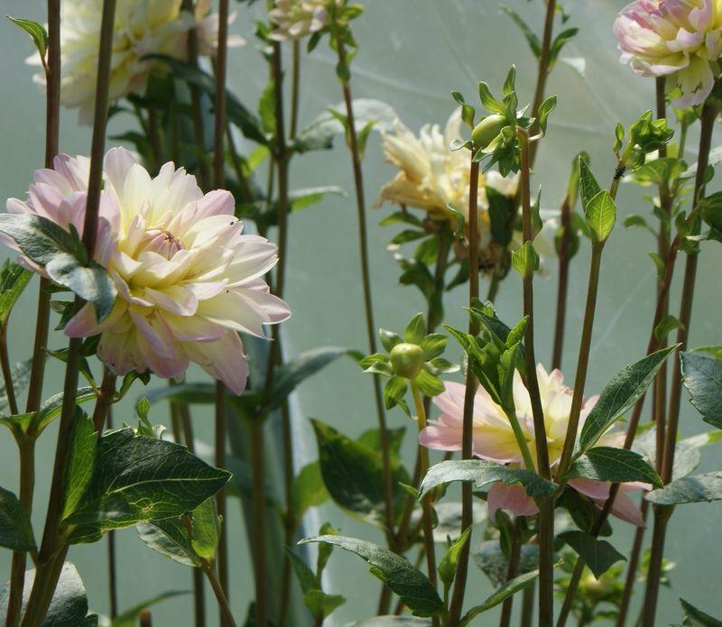 Coleman flowers