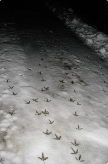 Crow_tracks_bright_2